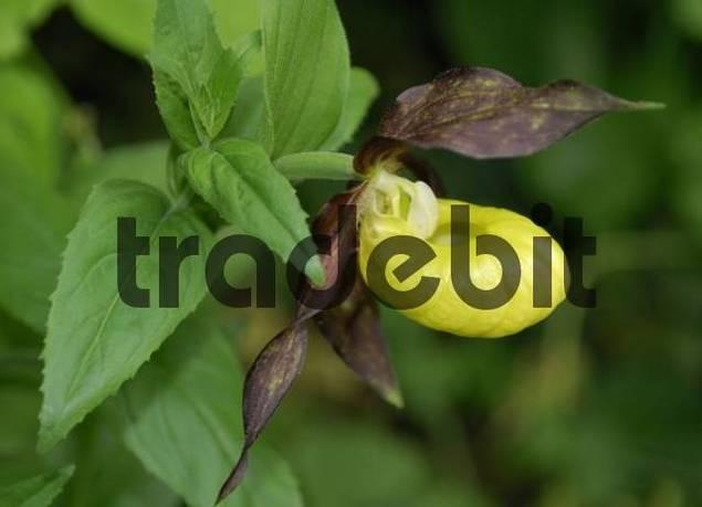 Ladys Slipper Orchid Cypripedium calceolus, Fischbachau, Upper Bavaria, Germany, Europe