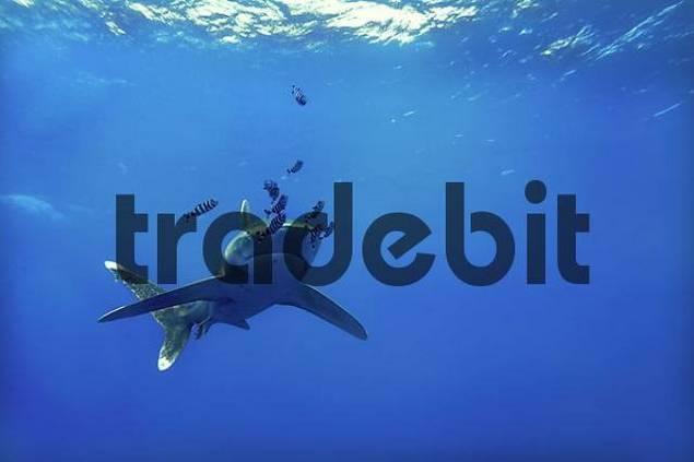 Middle East, Egypt, Red Sea, Oceanic whitetip shark, Carcharhinus longimanus