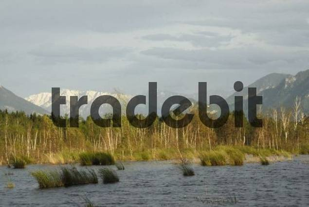 Stormy atmosphere in marshland landscape, Soft Rush, pond covered with marsh, snow-covered mountains in the back, Raubling, Bavaria, Germany, Europe