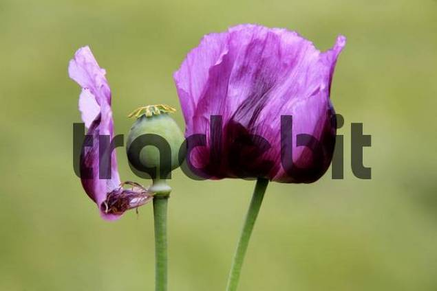 Violet Poppy Papaver rhoeas  in an agricultural field, Thurgau, Switzerland, Europe