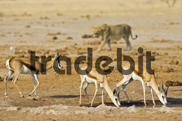 Lioness Panthera leo hunting for a Springbok Antidorcas marsupialis, Nxai Pan, Makgadikgadi Pans National Park, Botswana, Africa