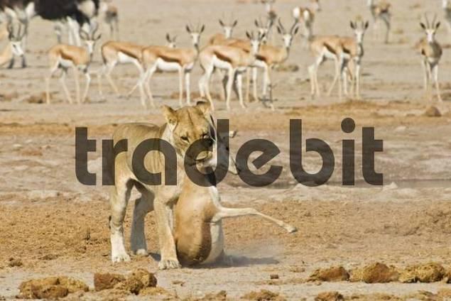 Lioness Panthera leo and a captured Springbok Antidorcas marsupialis, prey, Nxai Pan, Makgadikgadi Pans National Park, Botswana, Africa