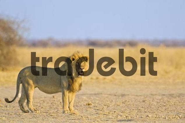 Lion Panthera leo, Nxai Pan, Makgadikgadi Pans National Park, Botswana, Africa