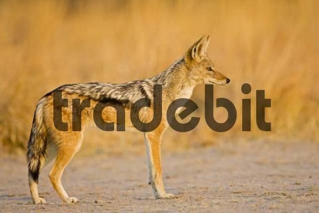 Black-backed Jackal or Silver-backed Jackal Canis mesomelas, Nxai Pan, Makgadikgadi Pans National Park, Botswana, Africa