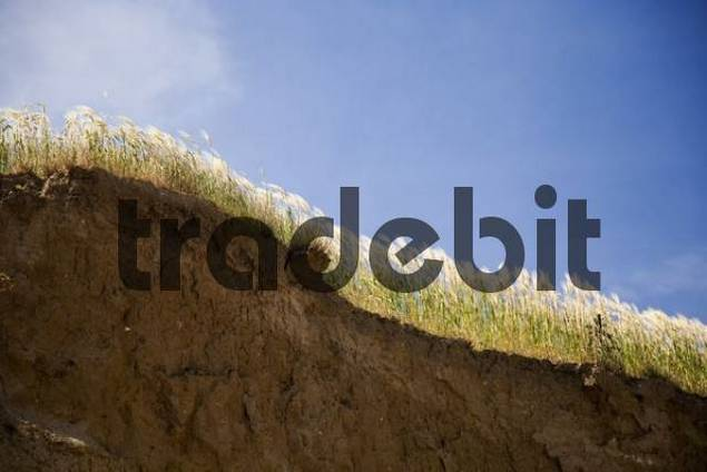 Close-up, steep cliffs with sea grass above a beach on the Baltic Sea, Schoenhagen, Schleswig-Holstein, Germany, Europe