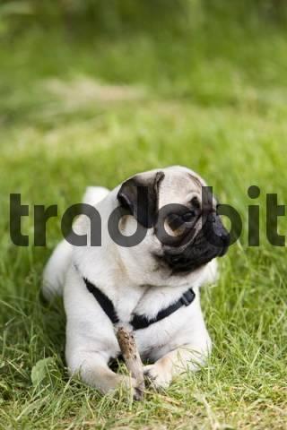 Pug dog, lying, meadow, paw, wood