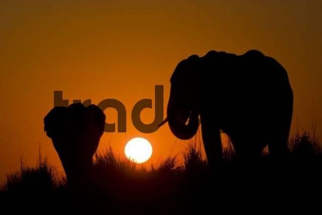 African Bush Elephants Loxodonta africana during sunset at the Chobe River, Chobe National Park, Botswana, Africa