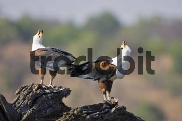 Screaming African Fish Eagles Haliaeetus vocifer, perching on a root, Chobe River, Chobe National Park, Botswana, Africa