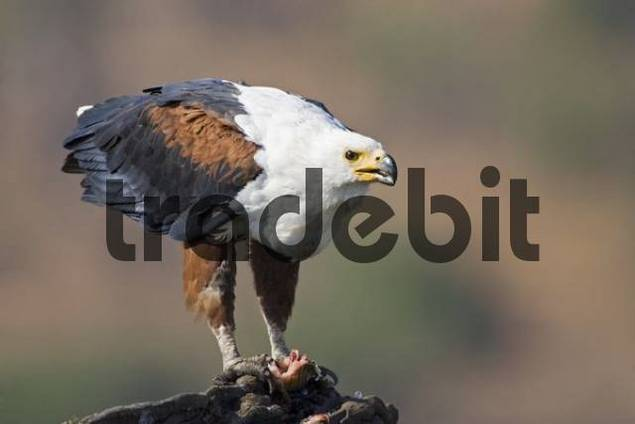 African Fish Eagle Haliaeetus vocifer with its prey, a fish, Chobe River, Chobe National Park, Botswana, Africa