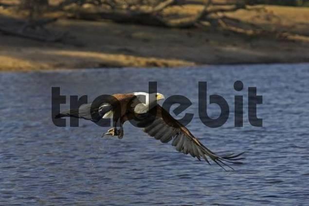Flying African Fish Eagle Haliaeetus vocifer with its prey, a fish, Chobe River, Chobe National Park, Botswana, Africa