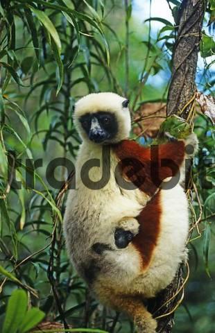 Lemur Euarchontoglires, Primates, Strepsirhini, Lemuridae, Madagascar