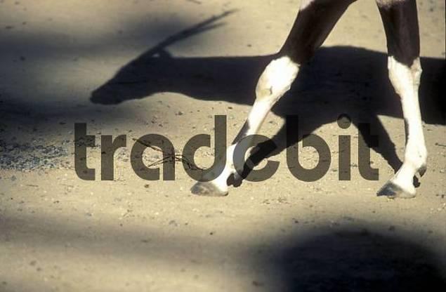 Thailande antelope