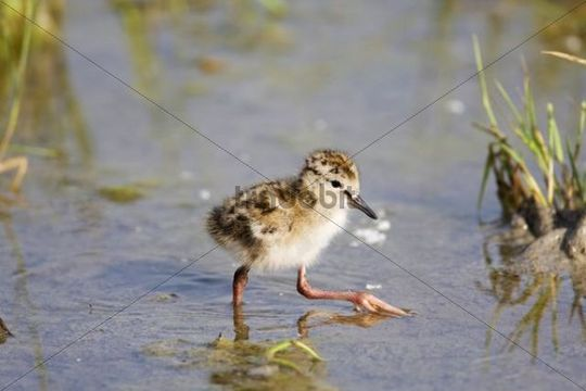 Common Redshank or Redshank Tringa totanus chick, Neusiedler Lake, Austria, Europe
