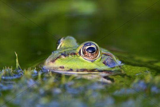 Edible Frog  Pelophylax kl. esculentus, portrait