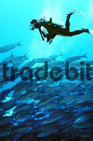 Fusilier, Caesionidae, Wolf Island, Galapagos, Ecuador, Pacific Ocean, COMPOSING: diver