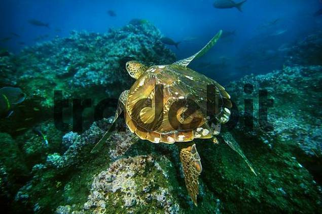 Hawksbillturtle, Eretmochelys imbricata, Wolf Island, Galapagos, Ecuador, Pacific Ocean