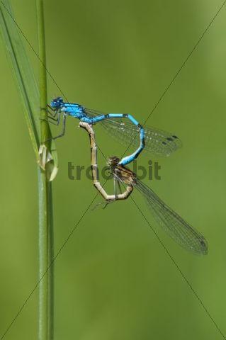 Common Blue Damselfly Enallagma cyathigerum mating