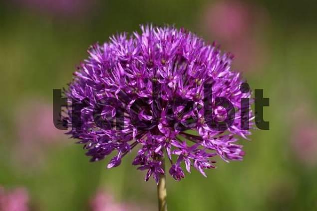 Flower head of a Purple Sensation Onion Allium aflatunense Allium x hollandicum