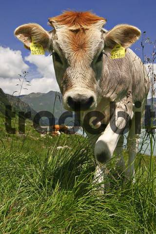 young cow an a pasture