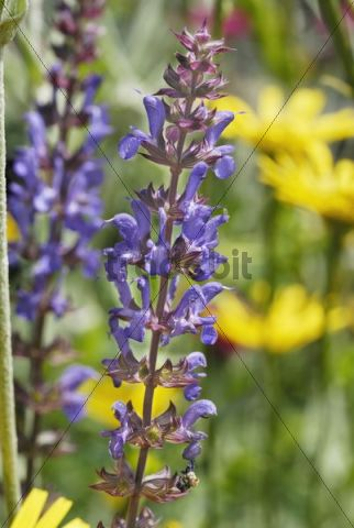 Blue panicles of the Meadow Clary Salvia pratenis, hybrid