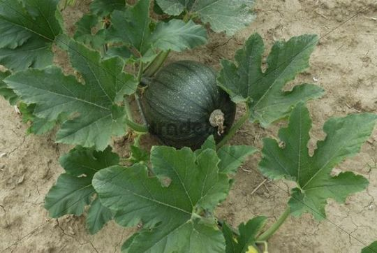 Pumpkin cultivation, a green pumpkin growing in the field ...