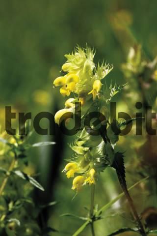 Greater Yellow-rattle Rhinanthus angustifolius