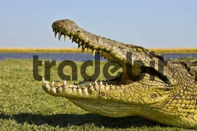 Nile Crocodile Crocodylus niloticus, mouth wide open, on the bank of the Chobe River, Chobe National Park, Botswana, Africa