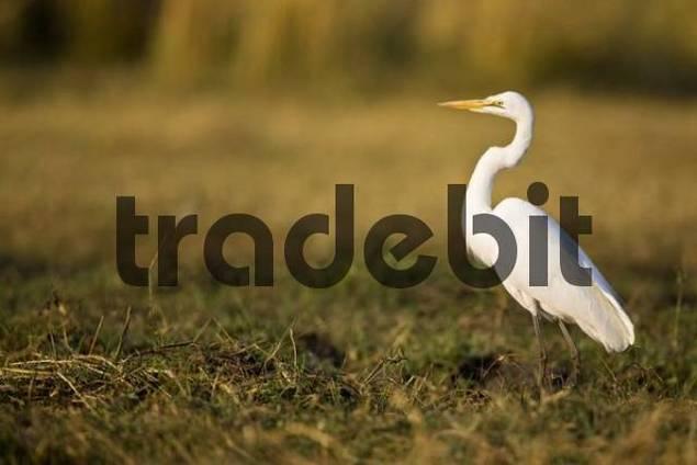 Great Egret or White Heron Casmerodius albus, Chobe National Park, Botswana, Africa