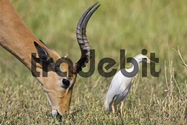 Impala Aepyceros melampus buck and a Cattle Egret Bubulcus ibis, Moremi National Park, Okavango Delta, Botswana, Africa