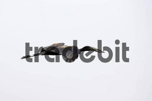 African Openbill Stork Anastomus lamelligerus in flight, National Park, Botswana, Africa