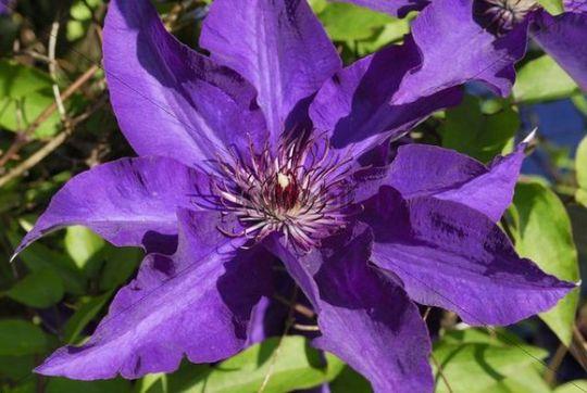 Large flowered, purple Clematis Clematis, Upper Bavaria, Bavaria, Germany, Europe