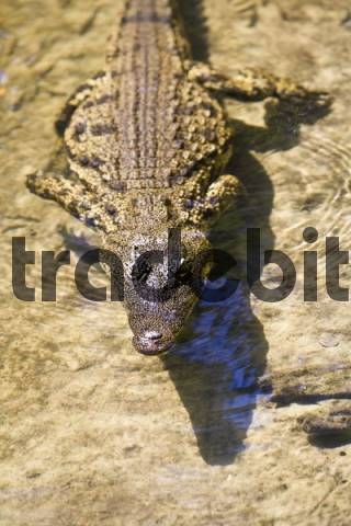 Crocodilia, often referred to as Crocodile Crocodilia in the water, Botswana, Africa