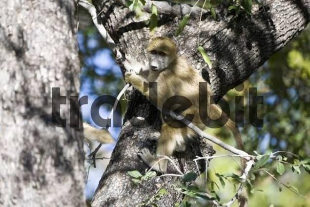 Baboon Papio climbing a tree, Okavango Delta, Botswana, Africa