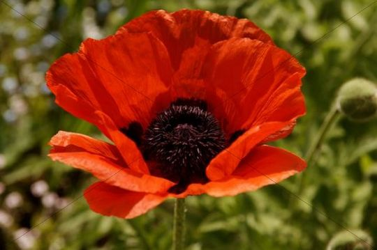 Red Oriental Poppy Papaver orientale, blossom, Eckental, Middle Franconia, Bavaria, Germany, Europe