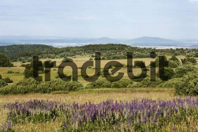 Lupin growing in a meadow landscape, Hohe Rhoen, Lange Rhoen, Lower Franconia, Bavaria, Germany, Europe