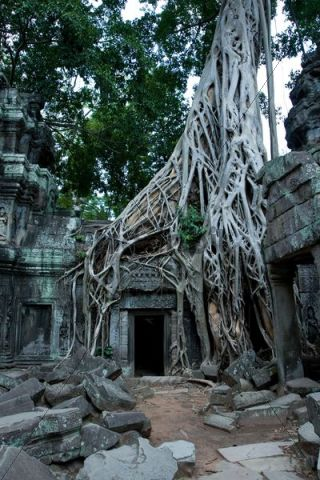 Root system of a fig tree on the ruins of the Ta Prohm temple, Siem...