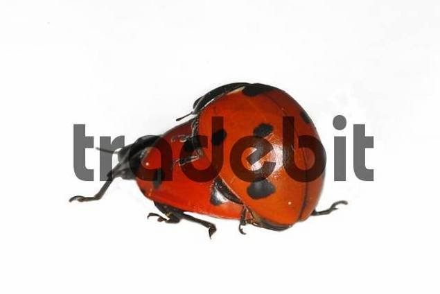 Ladybird by the mating