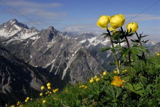 Globe-flower Trollius europaeus in front of the Lechtaler Alps, Elmen, Lechtal Valley, Tirol, Austria, Europe