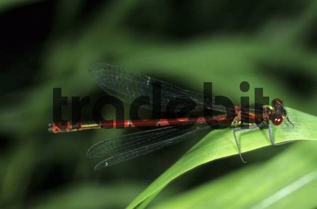 Large Red Damselfly Pyrrhosoma nymphula, male