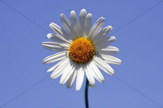 Ox-eye Daisy, Marguerite or Moon Daisy Chrysanthemum leucanthemum Leucanthemum vulgaris flower