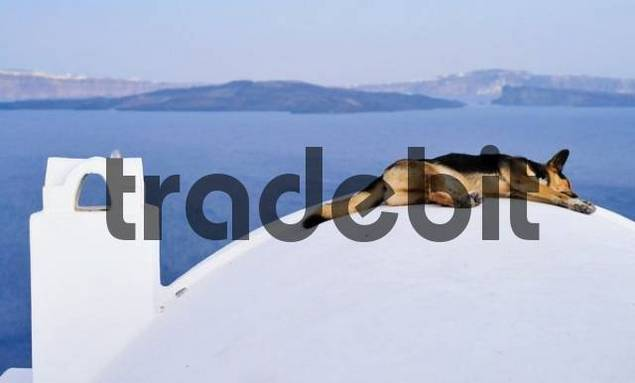 A German shepherd dog sleeping on a dome in front of the blue sea, Santorin, Cyclades, Greece, Europe
