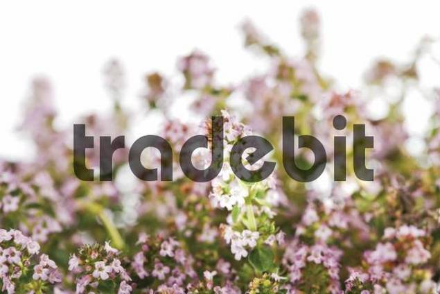 Blossoming Thyme Thymus