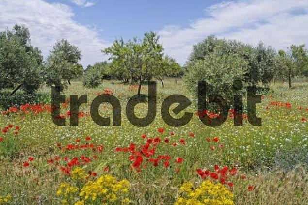 Meadow with colourfully blossoming poppies, corn poppies, Jucar River Valley, Albacete, Castile-La Mancha, Spain, Europe