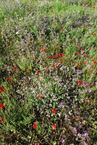 Poppy and wild flowers on a meadow, Lake Ohrid, UNESCO World Heritage Site, Macedonia, FYROM, Former Yugoslav Republic of Macedonia, Europe