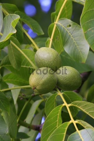Unripe walnuts in their husks, hanging from the Walnut Tree Juglans regia