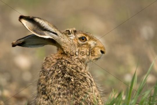 European Hare or Brown Hare Lepus europaeus