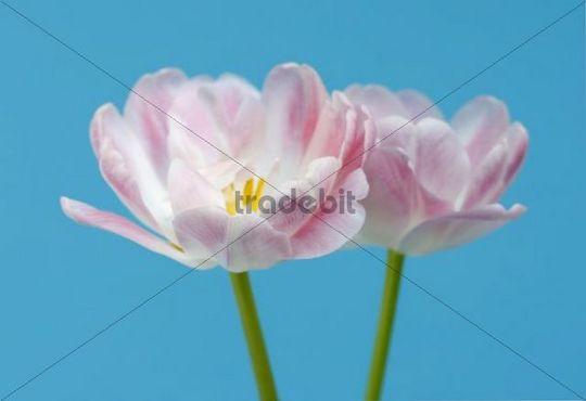 Tulips Tulipa, two pink flowers