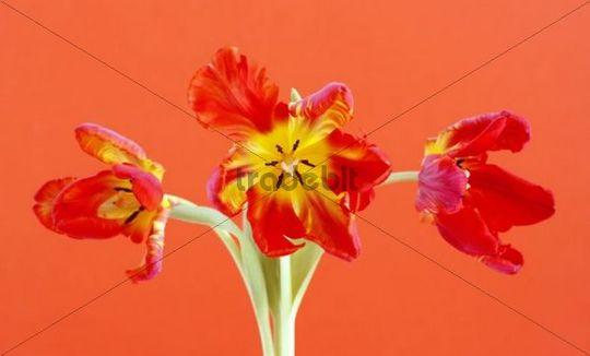 Tulips Tulipa, Parrot Tulips, orange flowers