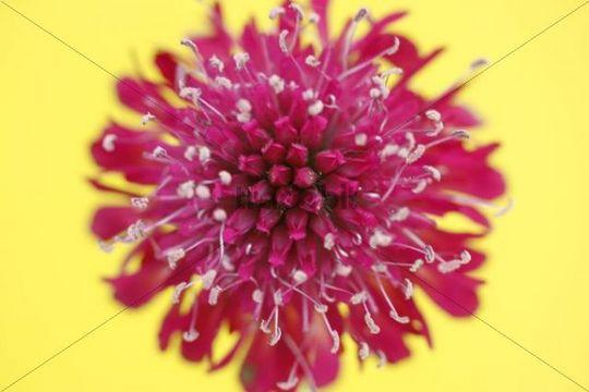 Field Scabious Knautia arvensis, red flower