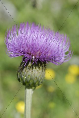 Violet coloured flower of a Spear Thistle, Bull thistle or Plumed thistle Cirsium vulgare, Pendling, Tyrol, Austria, Europe